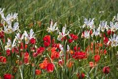 White Iris and Red Tulips royalty free stock photo