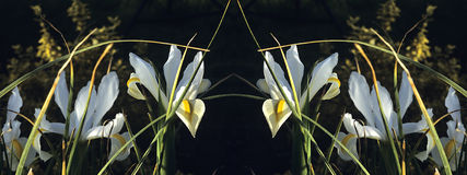 White Iris Reflection Stock Photo