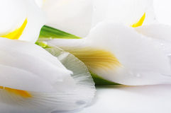 White irises against a green grass Stock Image