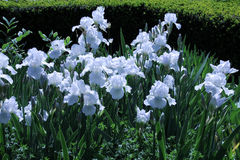 White Irises Stock Photo