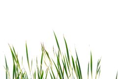 Wild grass growing in a field royalty free stock image