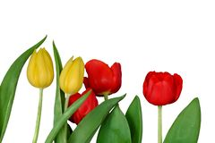 A red yellow tulip flower blossom in botanical garden at the glasshouse area. On white isolated background royalty free stock images