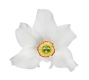 White isolated bloom of narcissus Stock Photo