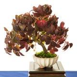 White isolated common grape vine bonsai tree Vitis vinifera Royalty Free Stock Photography