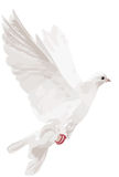 White isolated dove illustration Royalty Free Stock Photography