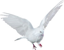White isolated dove illustration Royalty Free Stock Photos