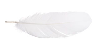 White isolated goose straight feather Stock Images