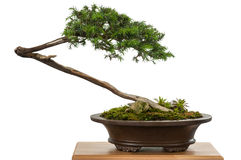 White isolated juniper as bonsai tree. In a pot royalty free stock photography