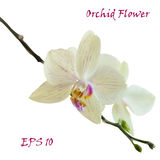 White isolated orchid flower Stock Photography