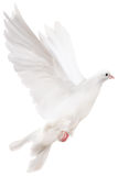 White isolated pigeon illustration Stock Photography