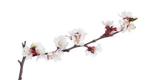 White isolated sakura blooms Royalty Free Stock Photo