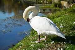 Swan cleaning wings on the field under sun Stock Photography