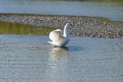 White italian goose Stock Images