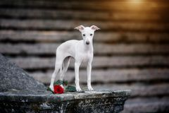 White Italian greyhound stands on the stairs royalty free stock image