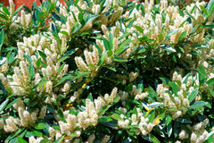 White itea called Little Henry or Sweetspire Stock Photography
