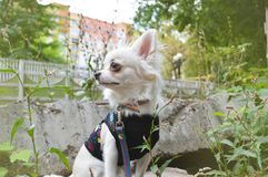 White chihuahua dressed in a T-shirt stock photography