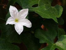 White ivy Gourd flower Royalty Free Stock Photography
