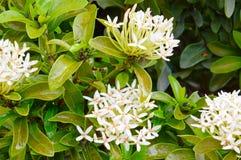 White ixora coccinea flower. The white ixora coccinea flower Stock Photo
