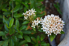 White ixora coccinea flower Royalty Free Stock Images