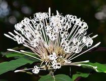 White ixora flower Royalty Free Stock Photo