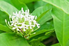 White Ixora Flower Royalty Free Stock Photography