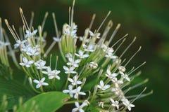 Ixora flower (Pavetta indica) Stock Images