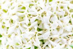 White Ixora Flower Stock Images