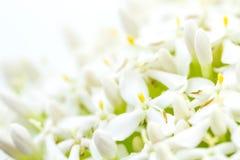 White Ixora Flower Stock Photo