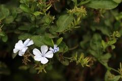 White ixora flowers Stock Image