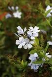 White ixora flowers Stock Photos