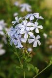 White ixora flowers Stock Photography