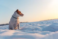 White jack russel terrier puppy on snowy field royalty free stock photo