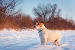 White jack russel terrier puppy on snowy field stock photo