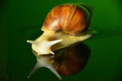 The white jade snail Royalty Free Stock Photo