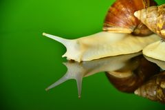 The white jade snail Stock Images