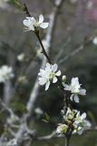 White japan cherry blossom Royalty Free Stock Photo