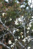 White japan cherry blossom Stock Photos