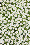 White japanese anemone Royalty Free Stock Image