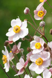 White japanese anemones. In the park royalty free stock photo