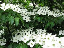 White Japanese dogwood flowers. A Japanese dogwood tree with white flowers and green leaves Royalty Free Stock Image
