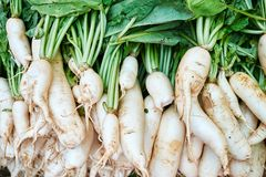 White Japanese Long Daikon Radish Top Down View. Raw Chinese Organic Raphanus Vegetable Ingredient for Natural Vegetarian Salad. Oriental Plant Root Pile in royalty free stock photo