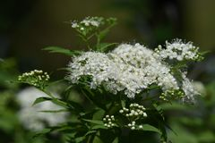 White Japanese spirea. White flower of the Japanese spirea stock image
