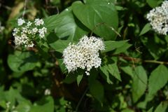 White Japanese spirea. White flower of the Japanese spirea royalty free stock images