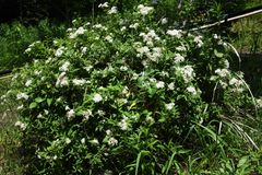 White Japanese spirea. White flower of the Japanese spirea stock photo