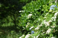White Japanese spirea. White flower of the Japanese spirea stock images