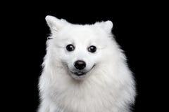 White Japanese Spitz Stock Image
