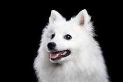 White Japanese Spitz Stock Images