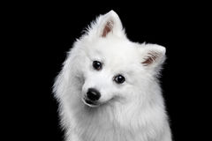 White Japanese Spitz. Portrait of White Japanese Spitz,Funny emotions Dog with Curious face on Isolated Black Background, front view royalty free stock photography