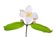 White jasmin flower with leaves. Jasmin branch with flowers isolated on white background royalty free stock photography