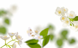 White jasmin flowers background Royalty Free Stock Photo